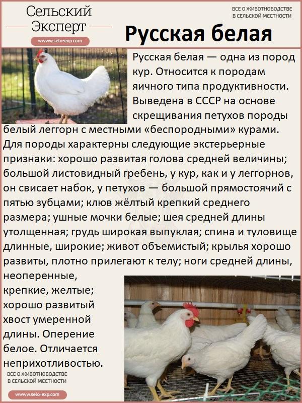 Отечественная курица с высокой яйценоскостью – Русская белая