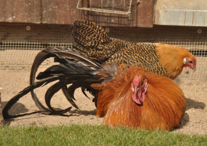 Вестфальский тотлегер - декоративная порода кур. Описание, характеристика, выращивание, содержание и кормление