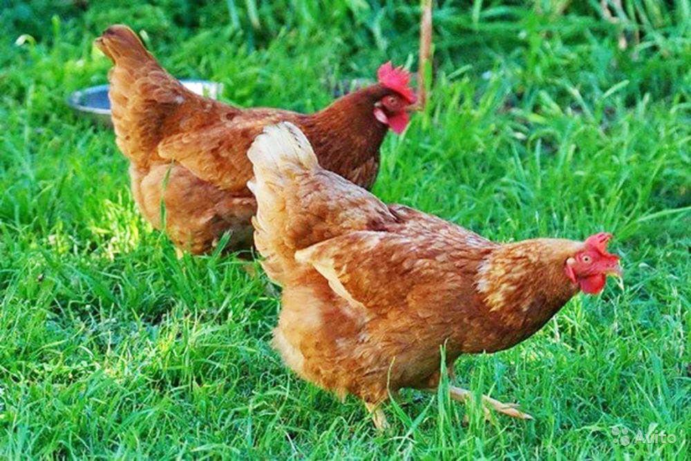 Немецкий ястреб - яичная порода кур. Описание, характеристики, содержание и выращивание, кормление