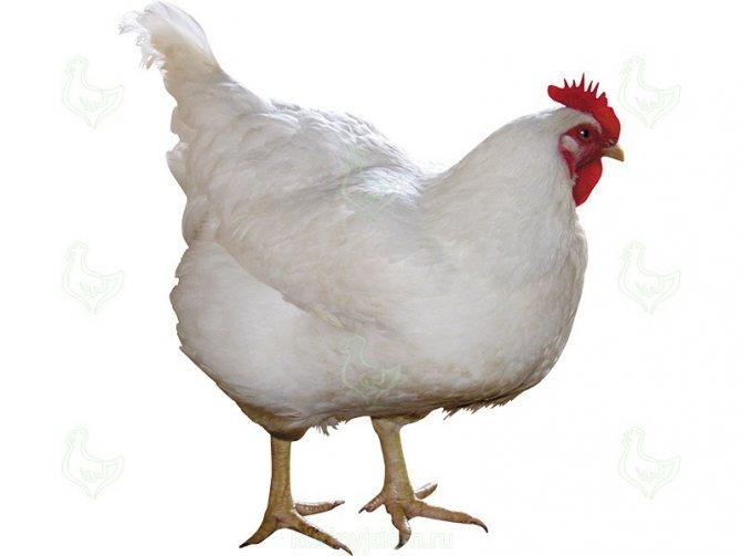 Сассо порода кур – описание, фото и видео цветного бройлера