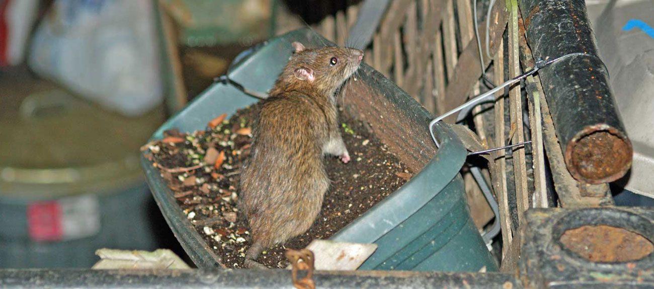 Как избавиться от крыс и мышей в курятнике