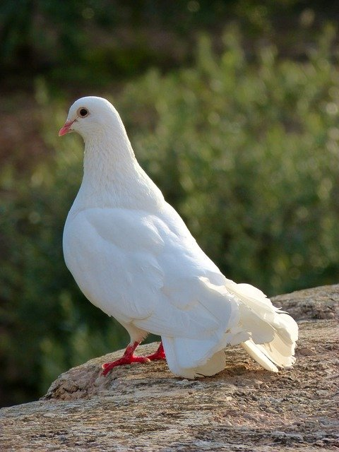 Породы белых голубей – чем примечательны, преимущества и недостатки