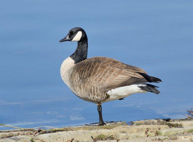 Казарка: характеристики и описание дикого гуся