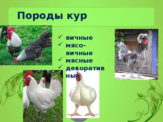 Обзор лучших мясо-яичных пород кур