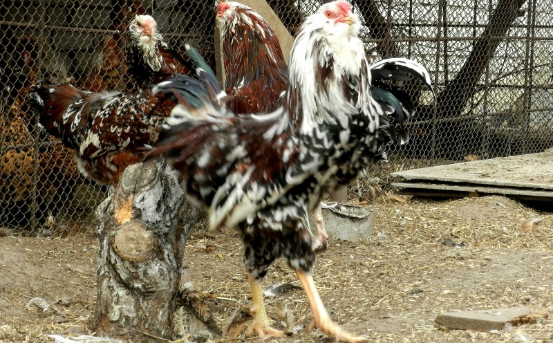 Орловская - декоративная порода кур. Описание, характеристики, содержание, кормление и инкубация