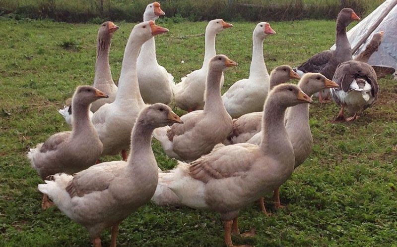 Эмденские гуси – чем эта порода привлекательна для фермеров
