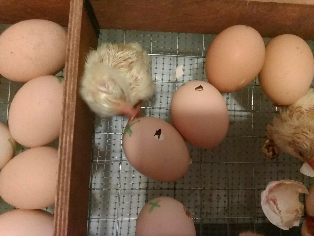 10 советов про вылупление куриных яиц в инкубаторе