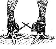 Что такое шпоры у петуха: можно ли их удалить и как это сделать в домашних условиях?