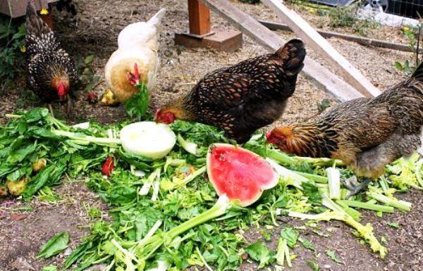 Можно ли давать курам и цыплятам морковь и морковную ботву?