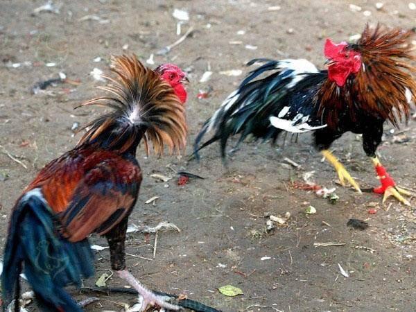 Индийская бойцовая порода кур. Характеристики, описание, разведение и кормление, правила инкубации