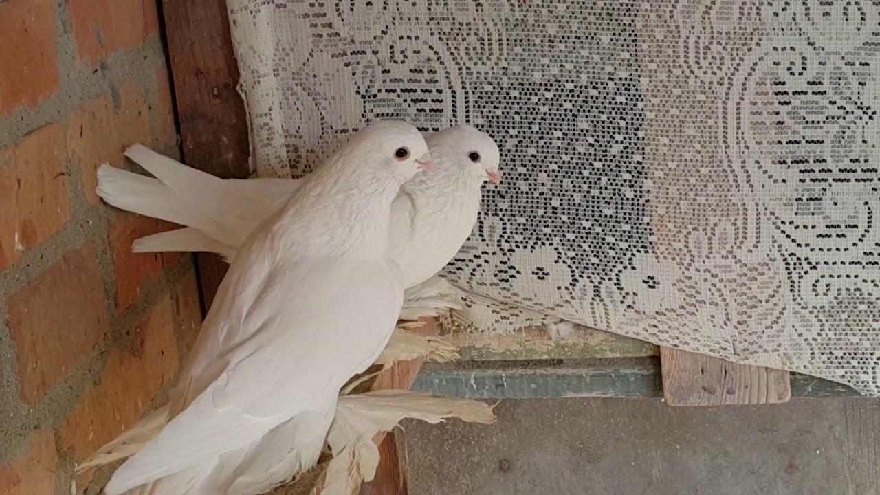 Моздокская бойная порода голубей – летные характеристики и особенности