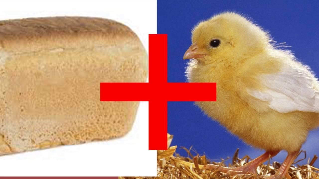 Можно ли кормить кур хлебом?