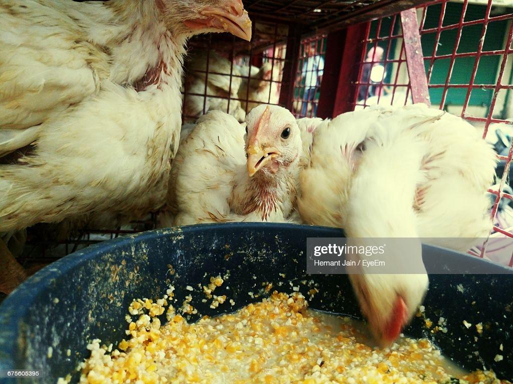 Гречка для кур польза и вред, как кормить кашей