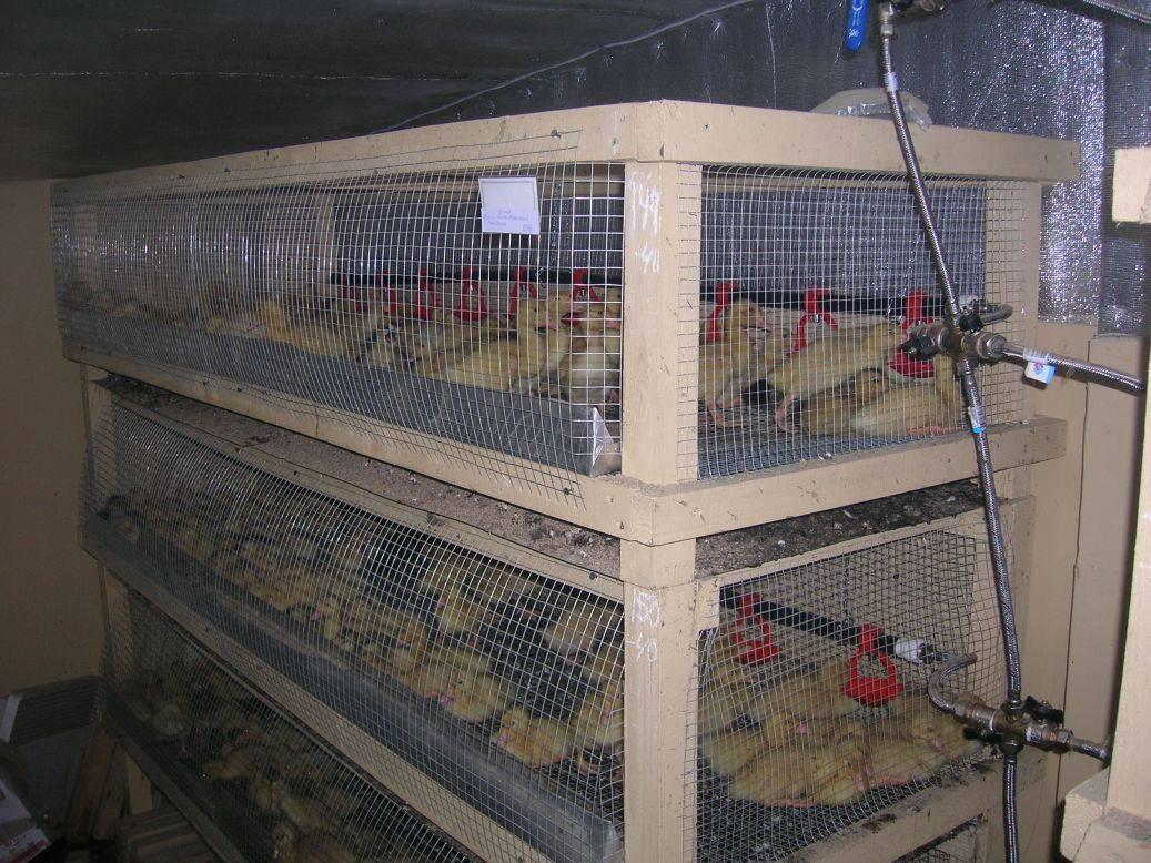 Какие клетки необходимы для выращивания цыплят
