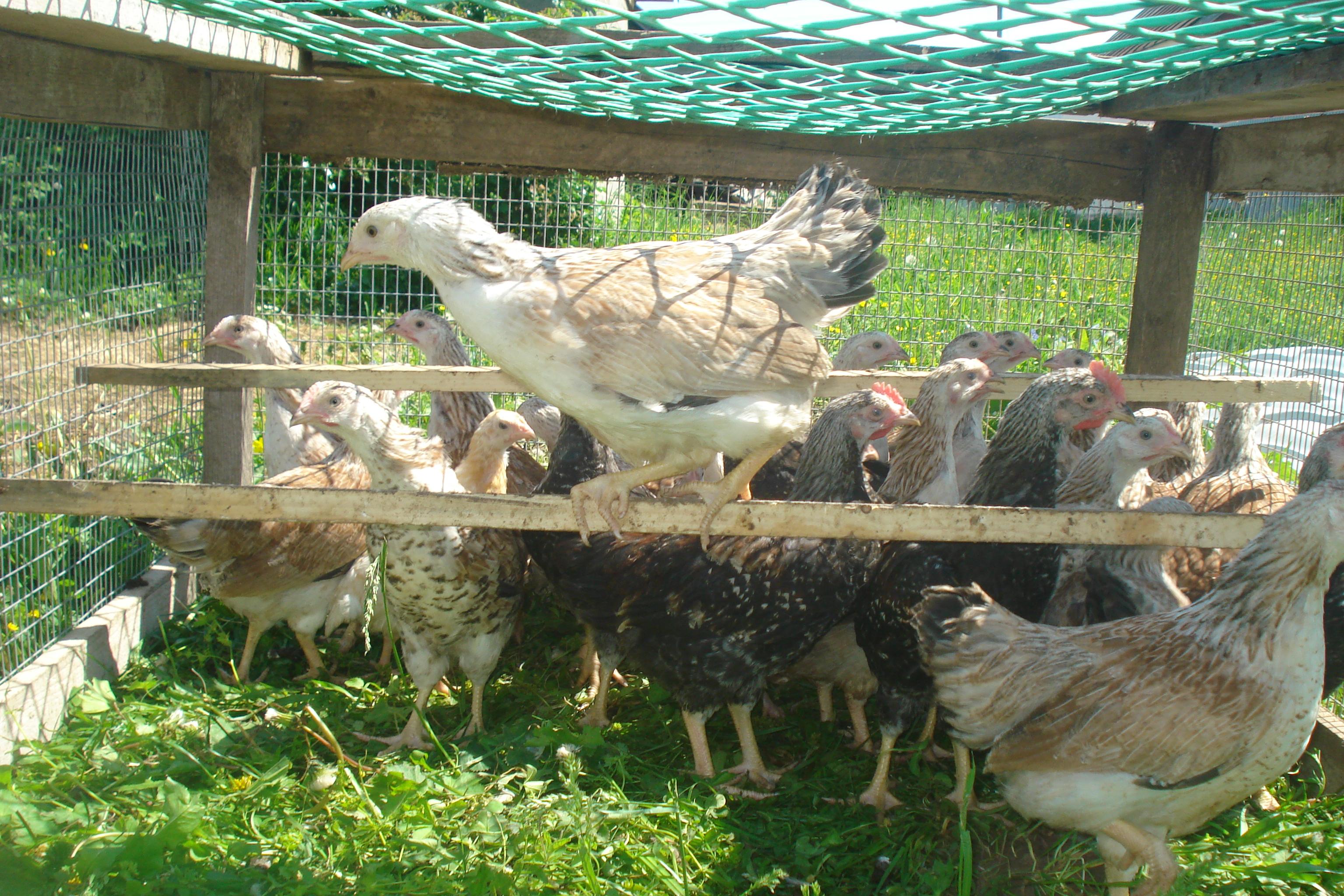 Эрмеллина ди Ровиго порода кур – описание с фото и видео