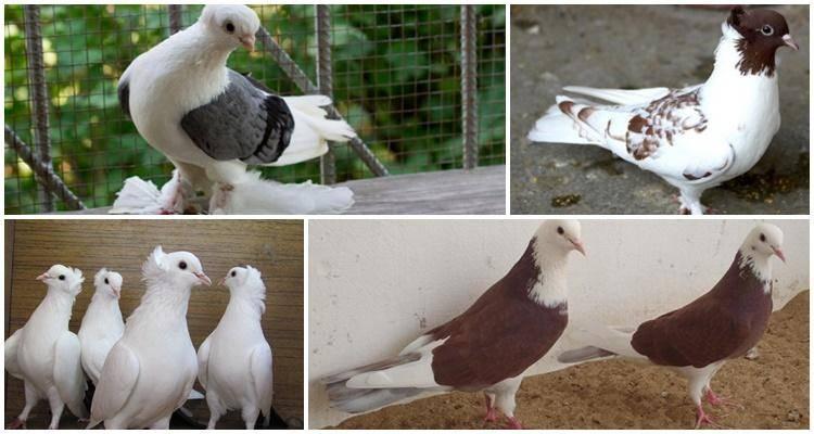 Бакинские бойные голуби – национальное достояние