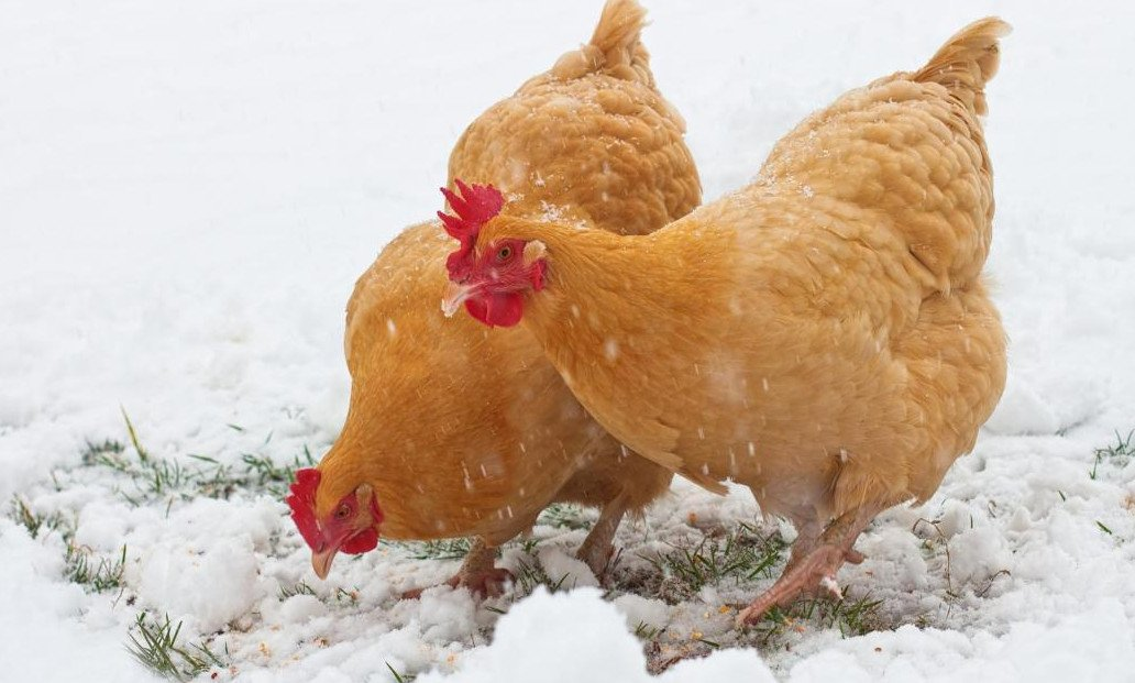 Куры – как поддержать их здоровье весной?