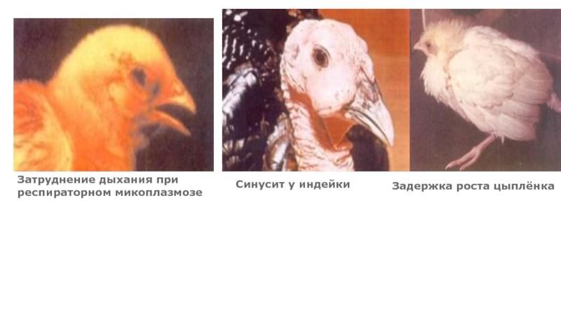 Как подрезать кривой клюв курице в домашних условиях