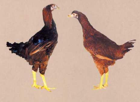 Куры Триколор - мясной кросс. Описание, содержание, инкубация, кормление и отзывы