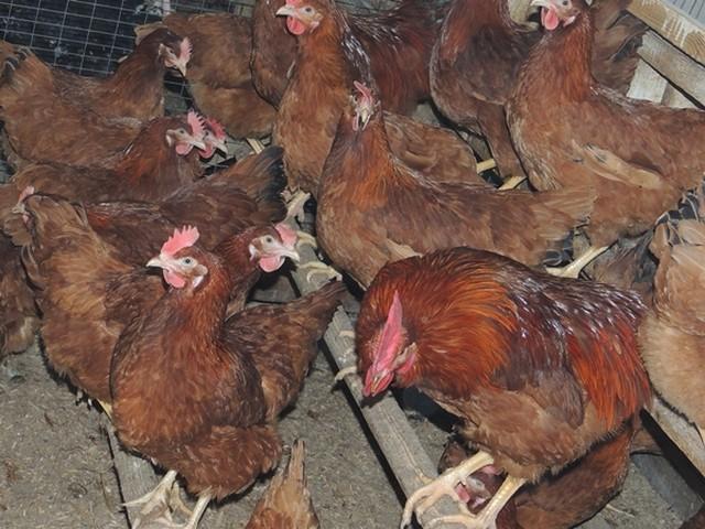 Ереванская порода кур – описание, фото и видео