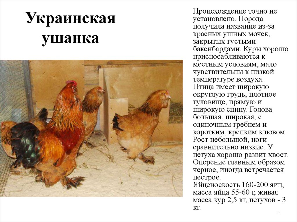 Украинская ушанка порода кур – описание, фото и видео