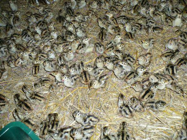 Особенности разведения фазанов в домашних условиях