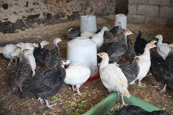 Разведение, выращивание и содержание индюшат в домашних условиях