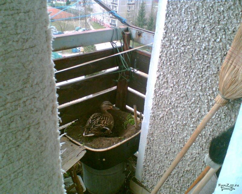 Содержание кур на балконе и лоджии, советы и фото