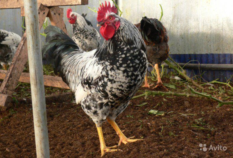 Котляревские куры – неприхотливая порода с высокой продуктивностью