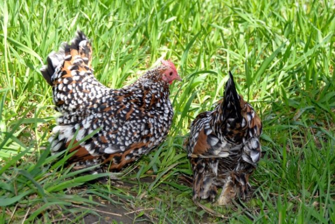 Бентамка - декоративная порода кур. Описание, разведение и содержание, уход, кормление