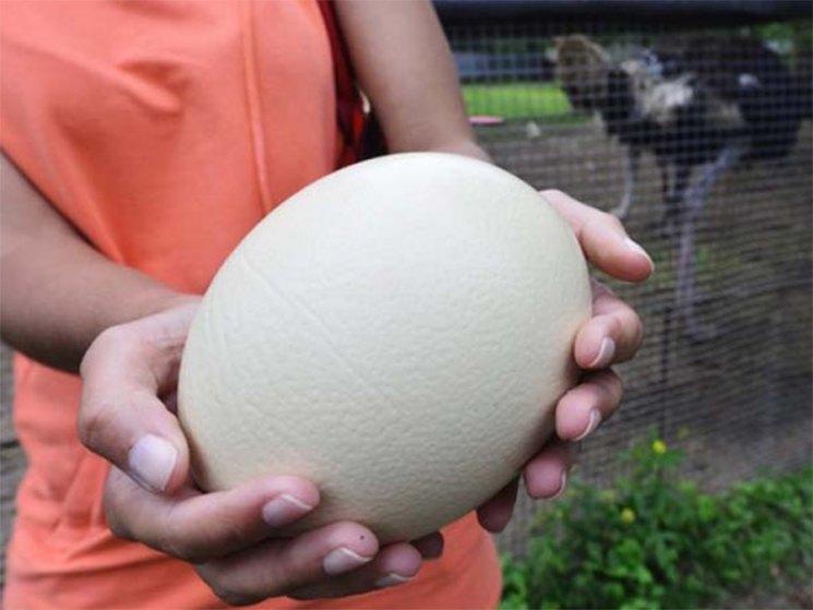 Все про яйца страуса: когда и сколько несет