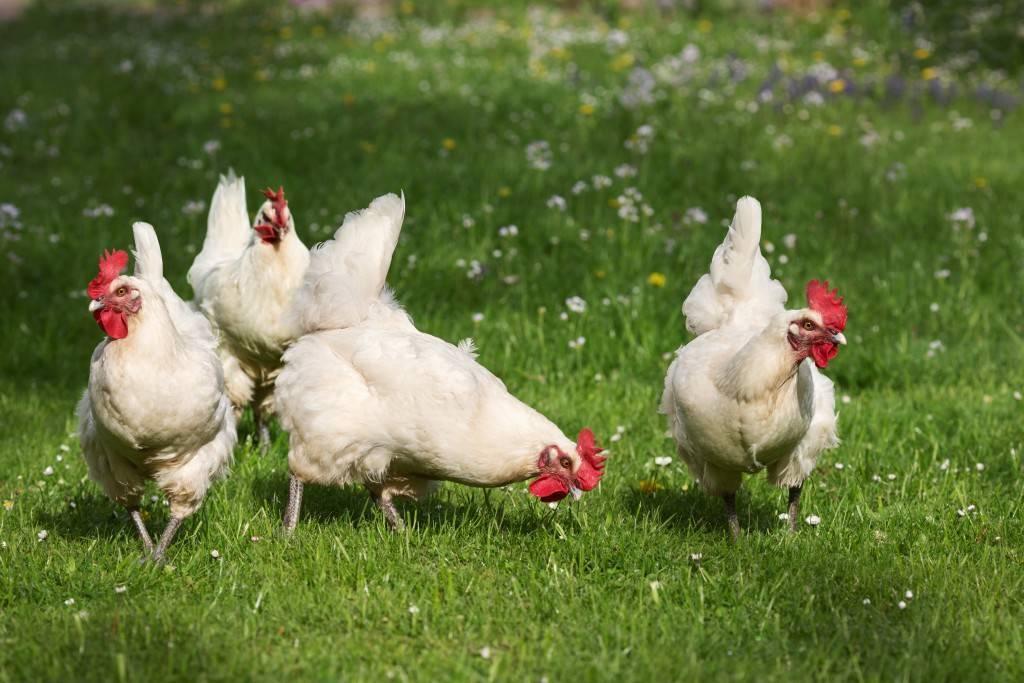 Русская белая порода кур: от создания до нюансов кормления и содержания