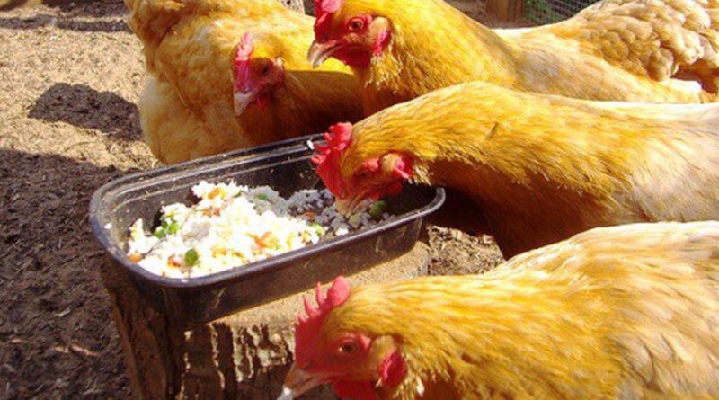 Белковые корма для кур во время линьки и для зимы