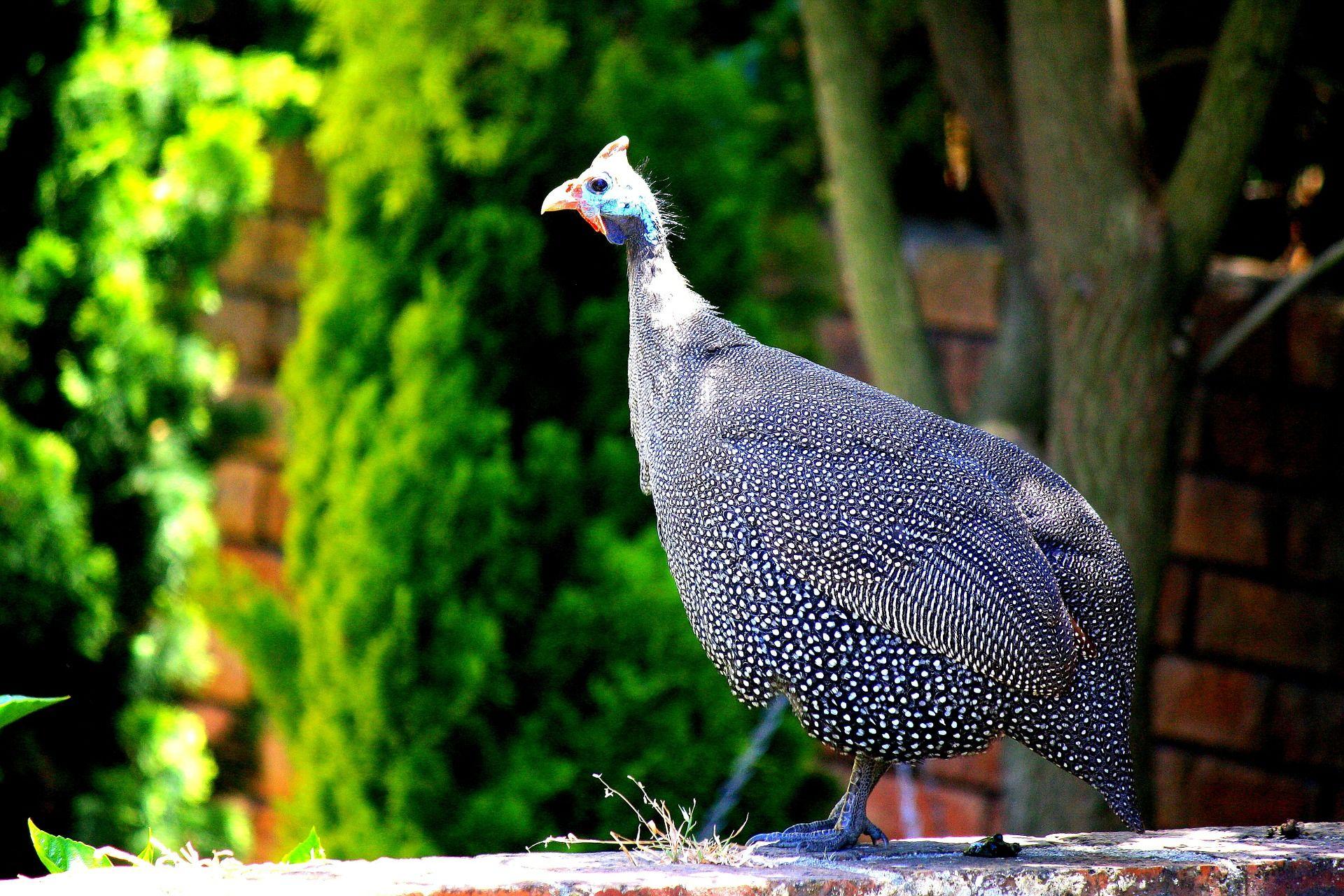 Голубая цесарка – фото породы, нюансы содержания, характеристики продуктивности