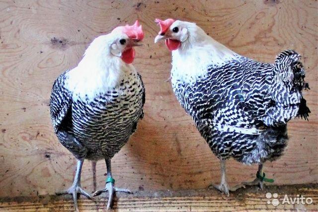 Брекель Серебристый - яичная порода кур. Характеристики, особенности разведения и выращивания, кормление
