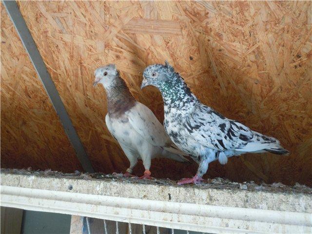 Бакинские бойные голуби – характеристики, особенности лета