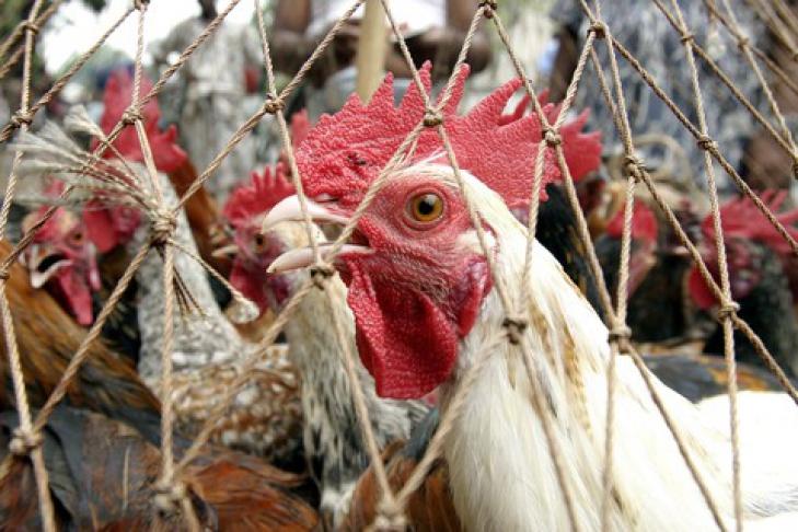 Птичий грипп у кур: симптомы, течение, профилактика и лечение