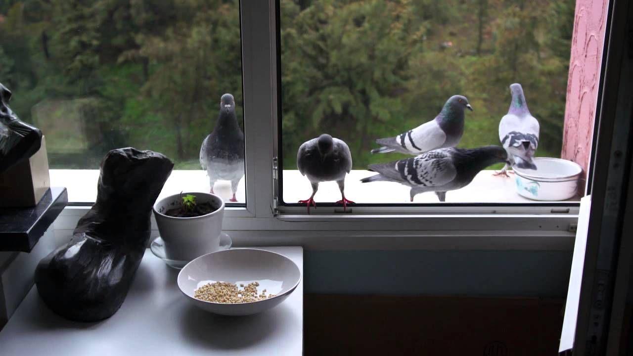 Как быстро отвадить голубей с подоконника