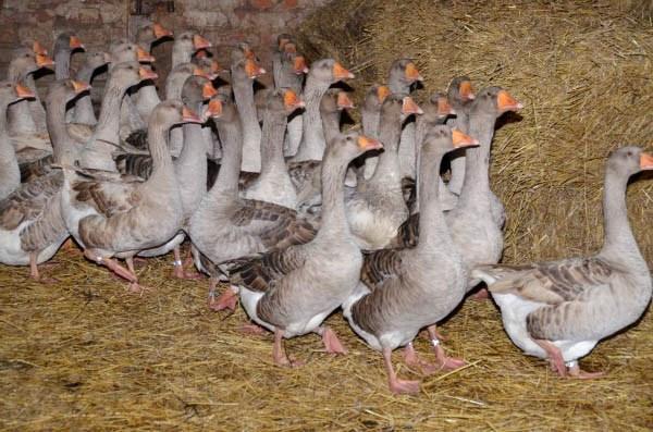 Основы разведения гусей или как получать ценное диетическое мясо