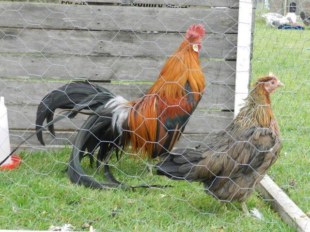 Тотенко порода кур – описание голосистых с фото и видео