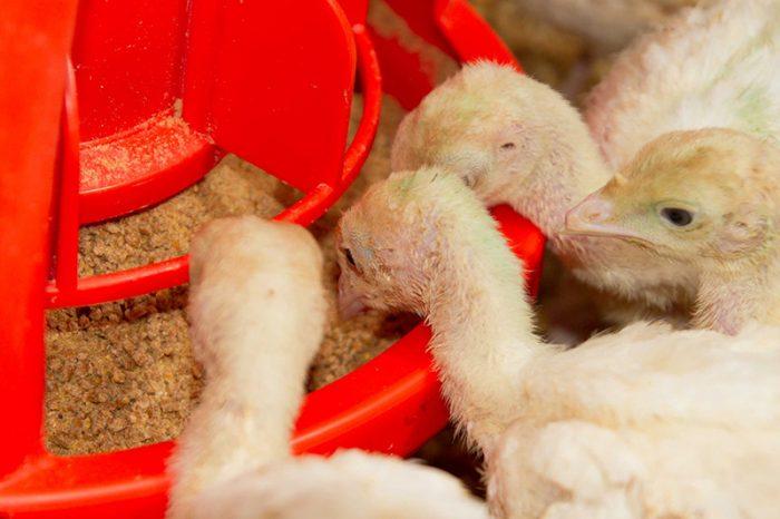 Условия выращивания индюков