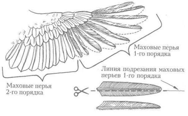 Как подрезать крылья индюкам, чтобы не летали