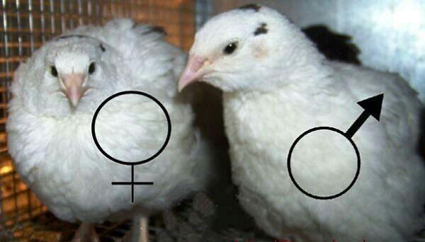 Как отличить перепелов самку от самца?
