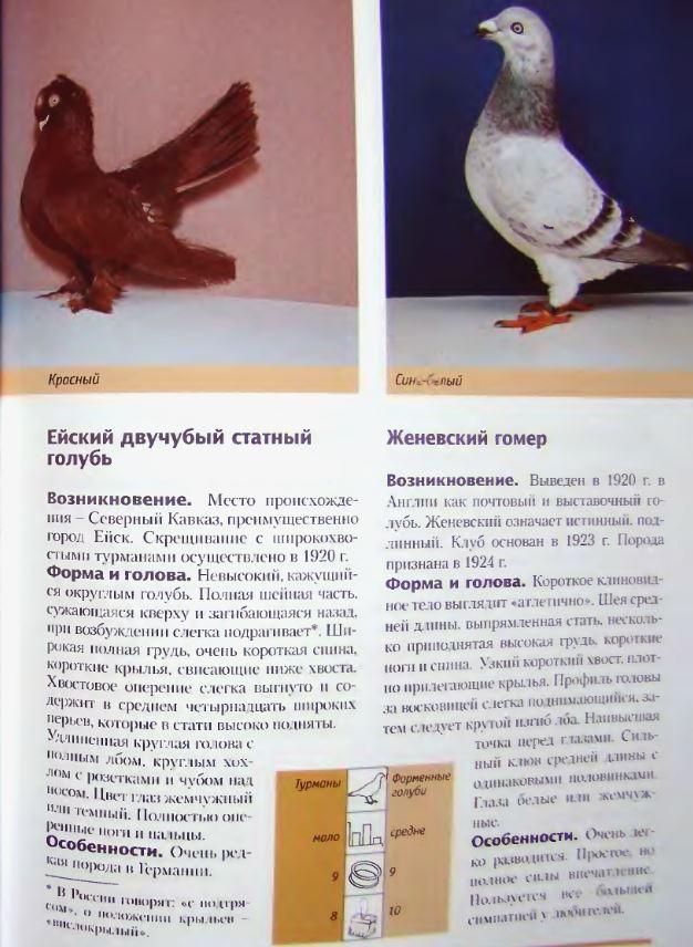 Описание и особенности статных голубей