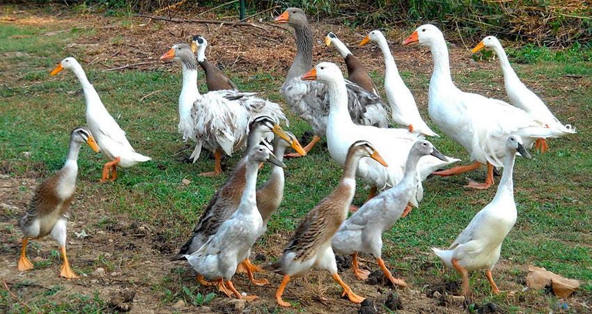 Индийский Бегунок утка в домашних условиях