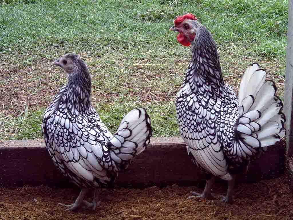 Сибрайт порода кур – описание, фото и видео