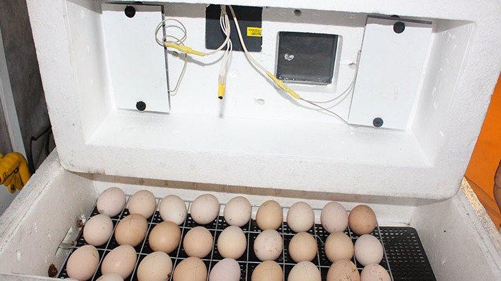 Особенности выведения цыплят в инкубаторе