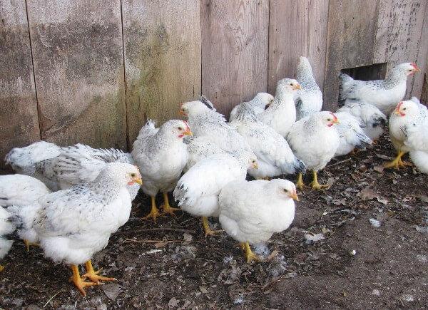 Делавэр порода кур – описание с фото и видео
