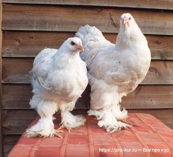 Брама порода кур – описание, фото и видео