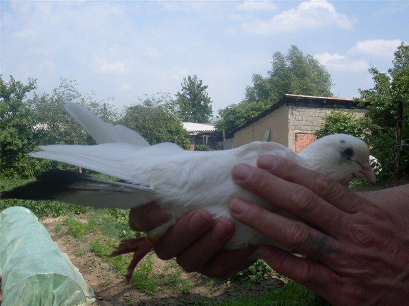Голуби породы казахстанские бойные: летные характеристики и особенности